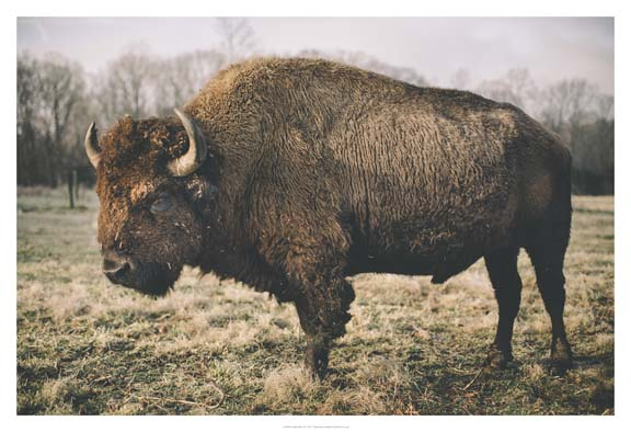Solitary Bison IV