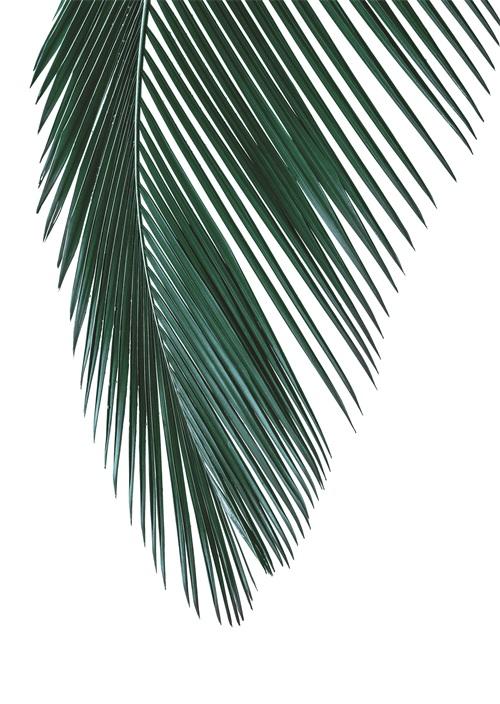 Coconut Leaves III