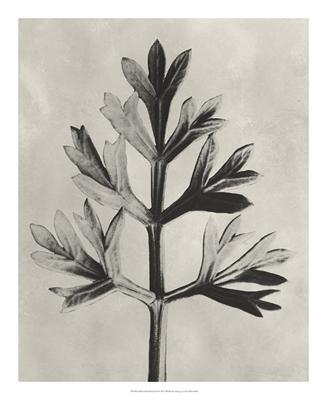 Blossfeldt Botanical I