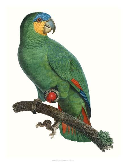 NEW Parrot of the Tropics I