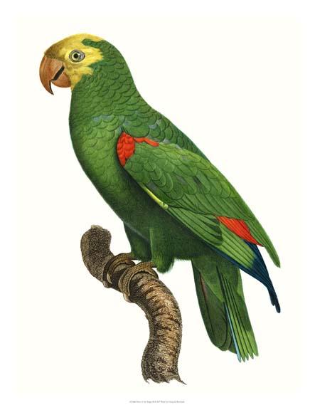 NEW Parrot of the Tropics III