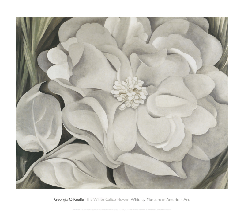 The White Calico Flower,