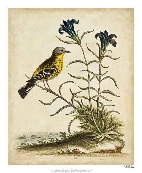 Edwards Woodpecker