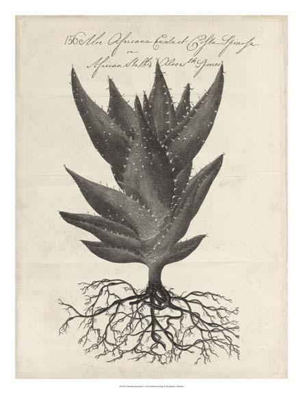 Thornton Succulents III