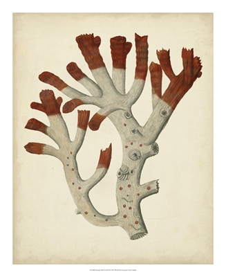 Antique Red Coral VI