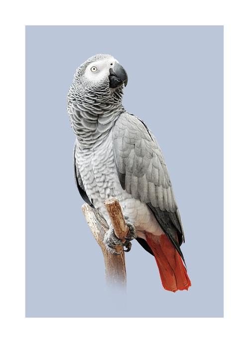 Grey Parrot IV