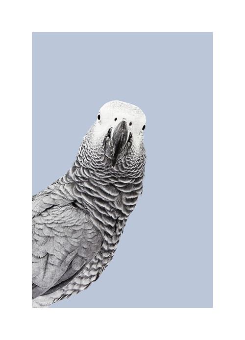 Grey Parrot II