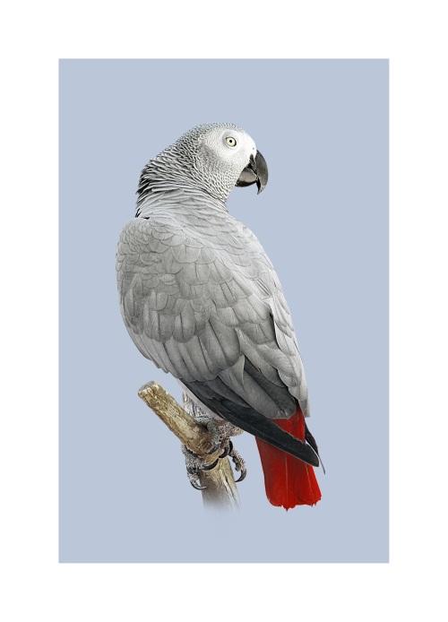 Grey Parrot I