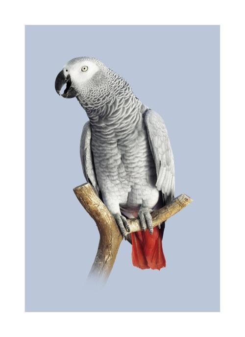 Grey Parrot III