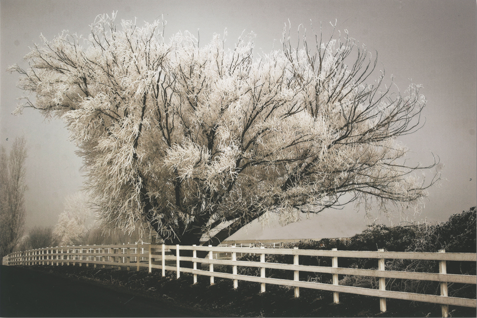 Frosted Tree & Fence