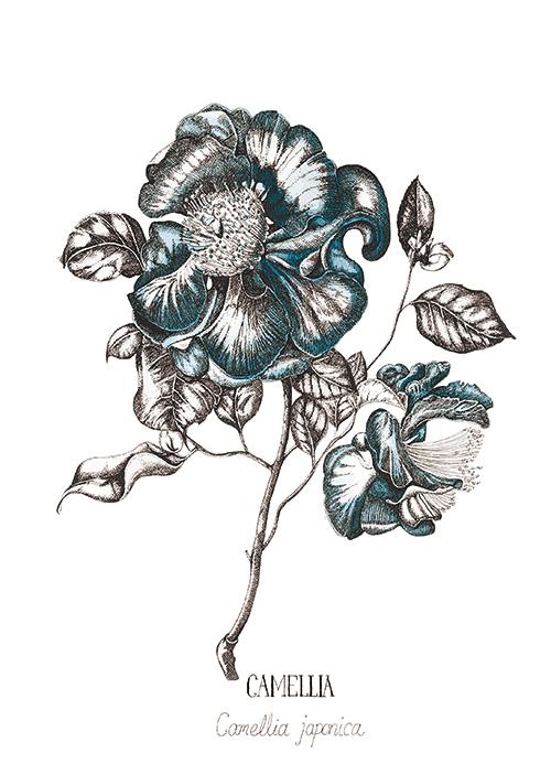 Blue Camellia