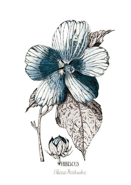 Blue Hibisus