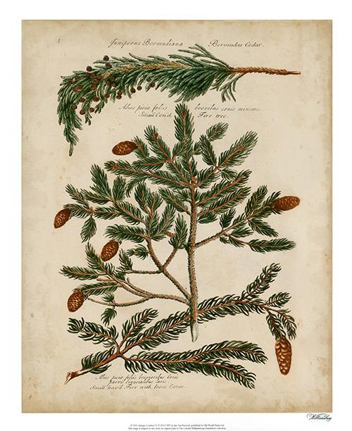 Antique Conifers II