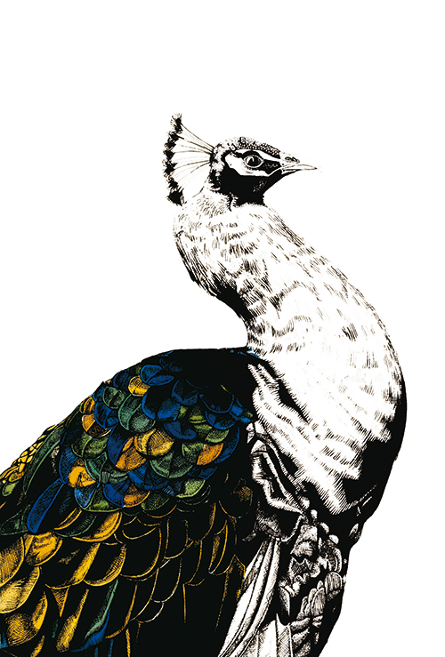 Gilded Peacock Ⅵ