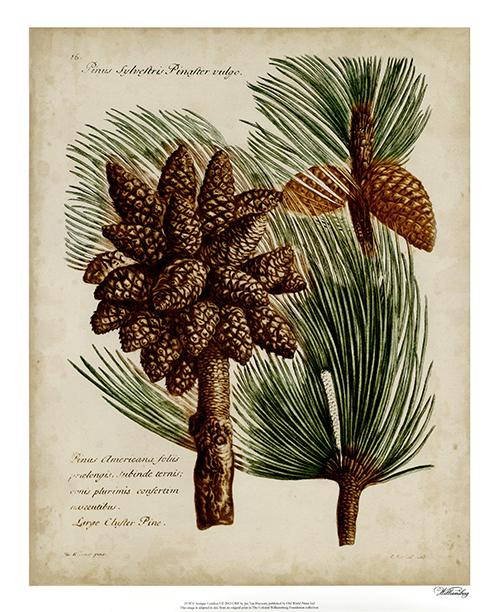 Antique Conifers