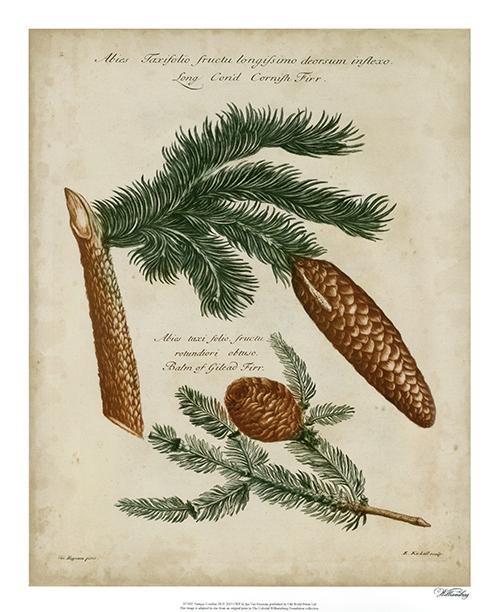 Antique Conifers III