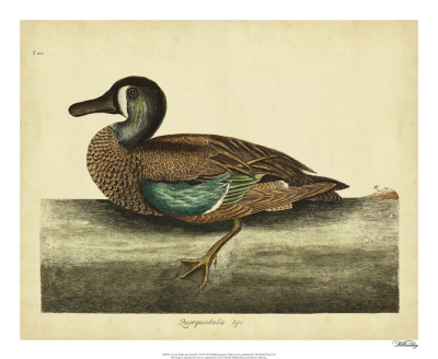 Catesby Summer Duck, Pl. T97