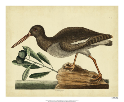 Catesby The Oyster Catcher, Pl. T85