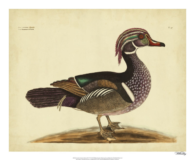 Catesby White-face Teal, Pl. T100