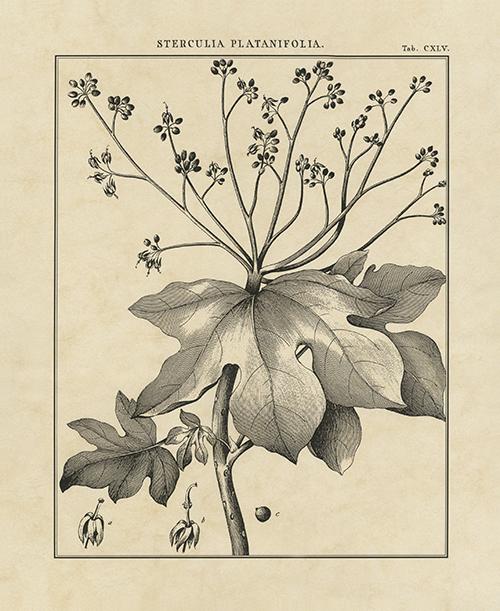 Vintage Botanical Study