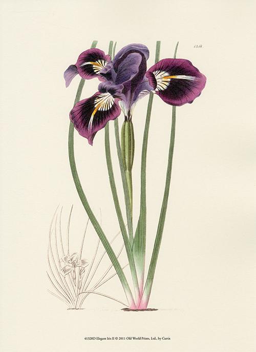 Elegant Iris I