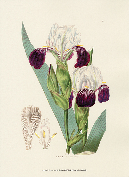 Elegant Iris III