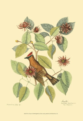Baltimore Bird and Catalpah V