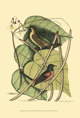 Baltimore Bird and Catalpah III