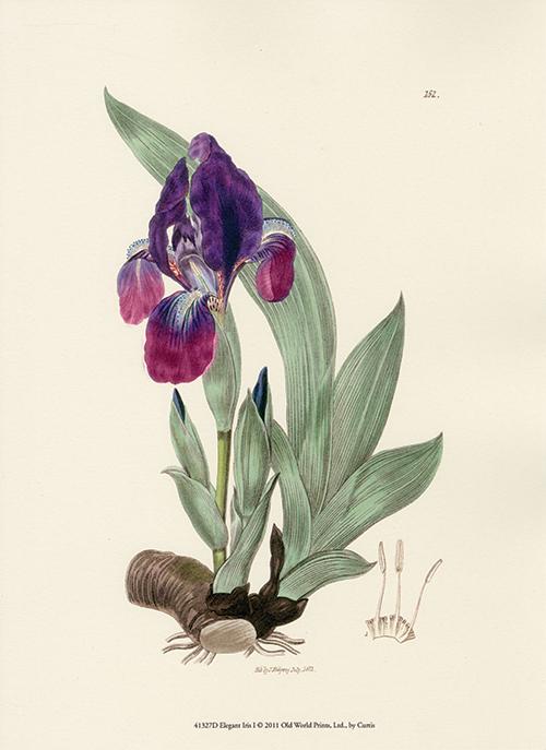 Elegant Iris IV