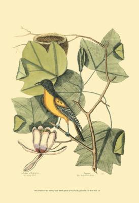 Baltimore Bird and Catalpah IV