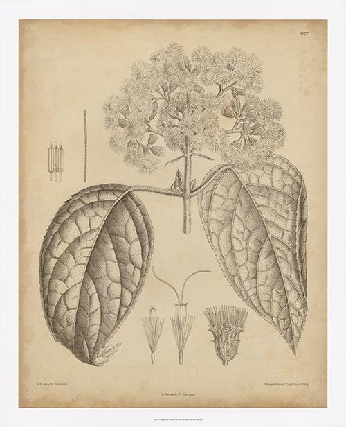 Vintage Curtis Botanical I