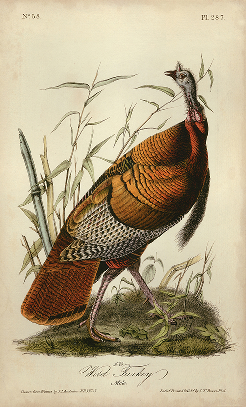 Audubon Wild Turkey I